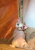 Питомник девон рексов DEVONLAND: Наблюдаем как растет котенок девон рекс Ванда. Пит...