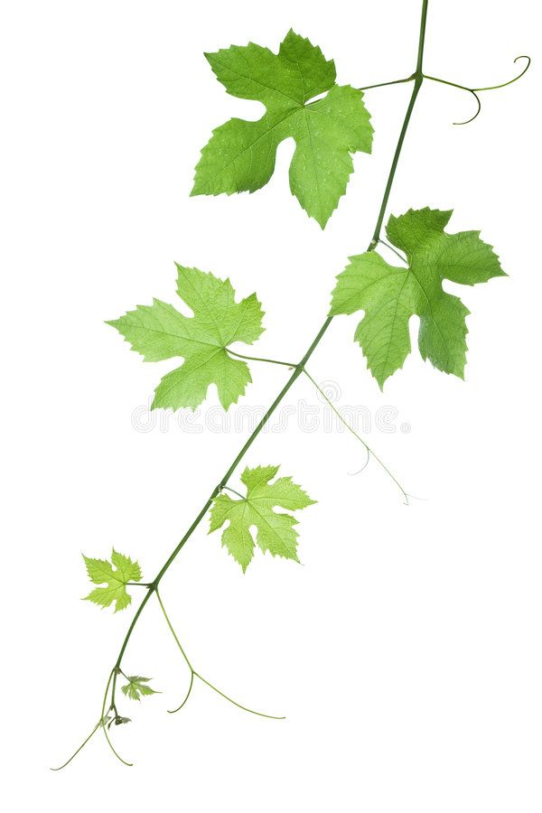 Grape Leaves Backdrop Of Grape Or Vine Leaves Isolated On White Background Plea Aff Backdrop Grape Grape Grape Drawing Leaf Illustration Vine Leaves