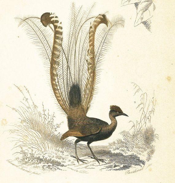 1861Roi des gobe-mouches Menure Lyre Gravure Orbigny peint à la main Original  Histoire Naturelle Zoologie Ornithologie