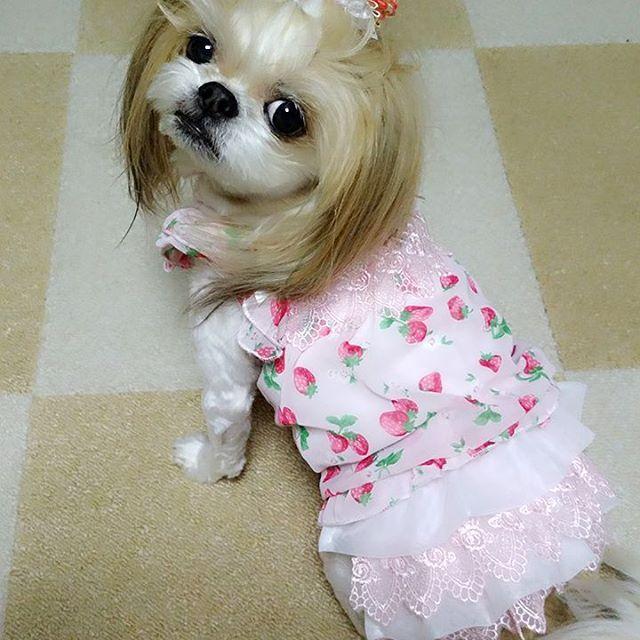 初めまして🐶  こったん🐶の妹の、こじ美🐶です💓  なんてね😂  こったん🐶に買った服じゃないよ😜  頂き物だけど、こったん🐶には サイズが合わないから お友達🐶へ~  ふりふりワンピ👚着せてみたかったから 満足だわ😂笑💓  #チワシー #チワズー #チワワ #シーズー #ミックス犬 #mix犬 #犬 #今日のわんこ #pecoいぬ部 #ふわもこ部 #シーズー大好き部 #ぺちゃキラ部 #愛犬 #애완견 #chihuahua #shihtzu #shihtzulovers #mixedbreed #dog #kawaii #instadog #lovelydog #dogstagram #todayswanko
