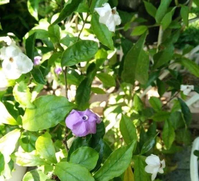 Gambar Bunga Melati Kosta Tanaman Hias Bunga Melati Kosta Brinfelsia Uniflora Bunga Melati Ciri Ciri Tanaman Serta Khasi Menanam Bunga Gambar Bunga Tanaman