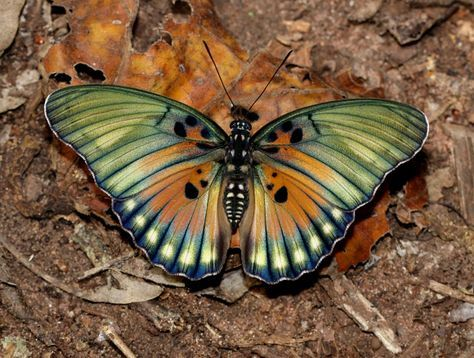 Edwards' Forester (Euphaedra edwardsi), equatorial Africa from Uganda to Guiena - Boabeng-Fiema, Ghana © Adrian Hoskins