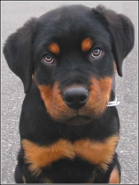 Rottweiler - Tunisian Best Pitbull And Rottweiler