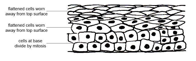 stratified squamous epithelium
