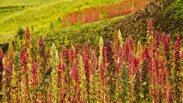Plantación de Quinoa en Chimborazo, Ecuador - Platos típicos de Ecuador