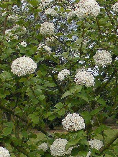 Viburnum burkwoodii / Immergrüner Duft-Schneeball - tolle Rosa Knospen und ein angenehm süßer Duft