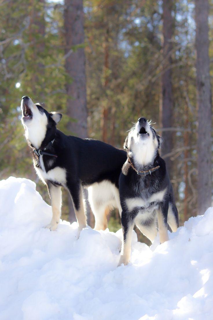 Dogs are having fun! Koirat ulvoo, kevät tekee tuloaan