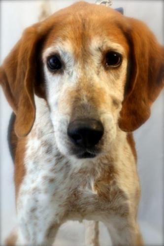 Arthur - Treeing Walker Coonhound - 10 yrs old - Happily Ever After Animal Sanctuary - Green Bay, WI. - http://www.happilyeverafterinfo.org/ - https://www.facebook.com/HappilyEverAfterAnimalSanctuary - http://www.adoptapet.com/pet/6735925-marion-wisconsin-treeing-walker-coonhound-mix - https://www.petfinder.com/petdetail/21993999/