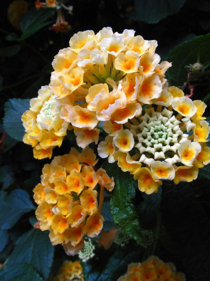 17 Best Images About Lantana And Verbena Flower Power On