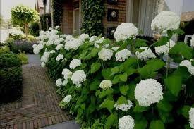 hortensia's voor het huis