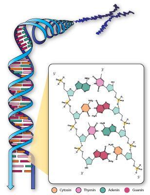 Den dobbeltstrengede DNA-kæde som foldes op i et kromosom. De to DNA-strenge holdes sammen af hydrogenbindinger mellem de baseparrende, komplementære nukleotider.