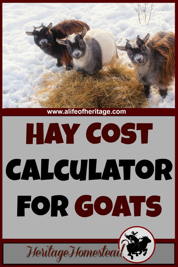 Goat Care | How much hay does a goat eat? | Hay Cost Calculator for Goats | Use this FREE Hay Cost Calculator to help you answer the question: how much hay do I need for my goat? This will help you make a plan and know how much hay to buy a year.