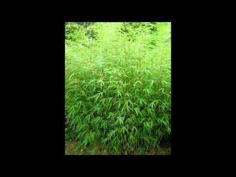 Описание: в настоящее время насчитывается около 40 видов фаргезий - изящных вечнозеленых растений высотой от 50 см (в условиях Подмосковья). Растения образую...