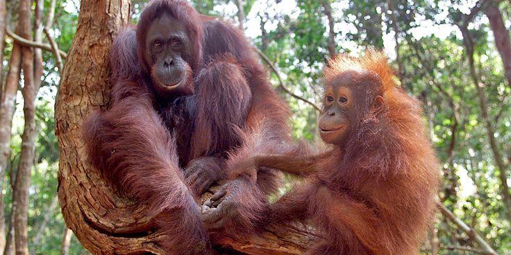 Orang-Utans: Asiens letzte Menschenaffen - WWF Deutschland