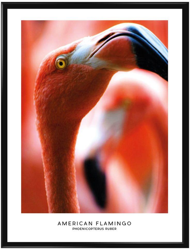 Visste du att flamingon får sin rosaröda färg frånrödalger som äts av…