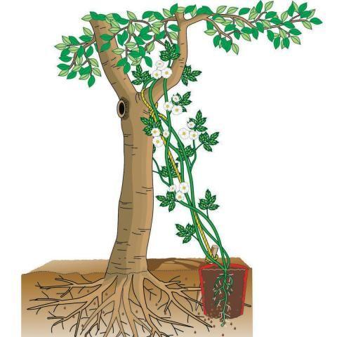 Ramblerrose pflanzen
