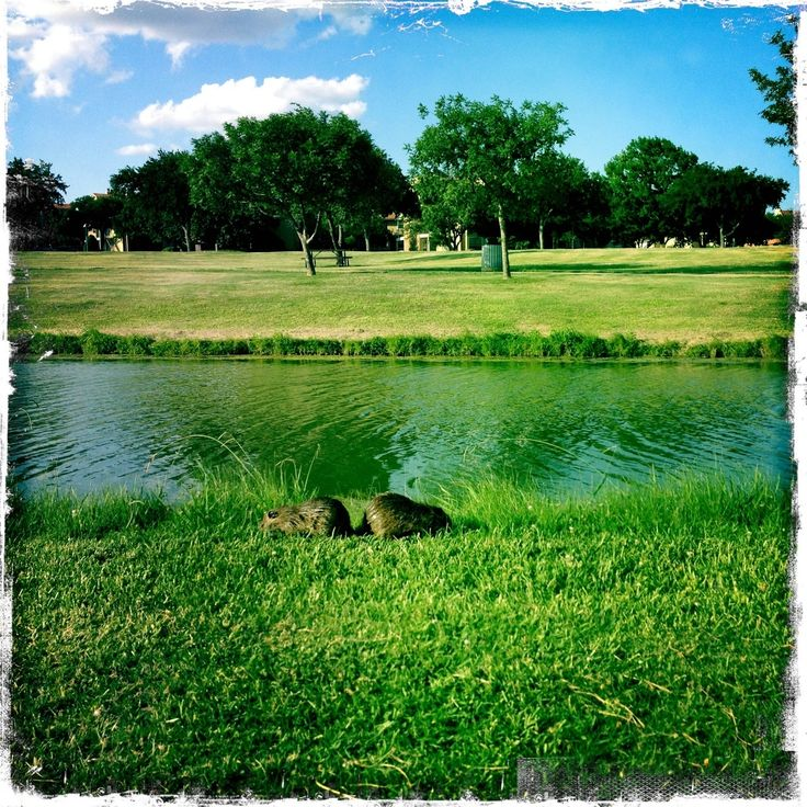 A nutria love story in Irving TX.