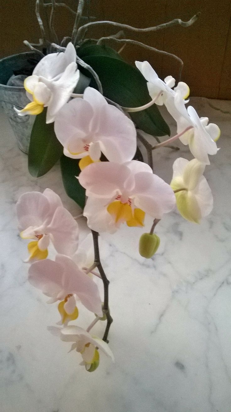 My orchid, at home