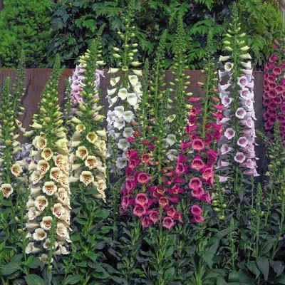 Digitalis Camelot Mix F1 - Stately Camelot produces a superior central spike, fo...