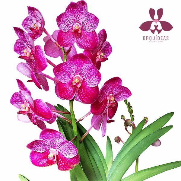 Orquídea Vanda doble ramificación floral Orquídeas Online