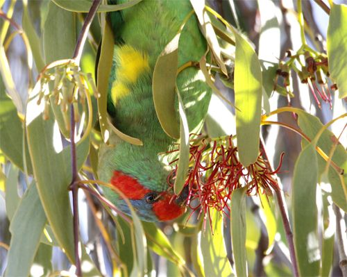 Musk Lorikeet feeding on Box Mistletoe, Newstead, 3rd March 2013.