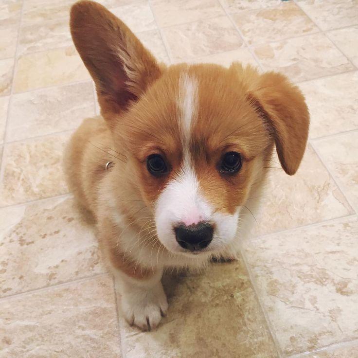 Cute Puppy Images Wallpaper Fluffy Instagram Photo By Corgi Wrigley Pembroke Welsh Corgi
