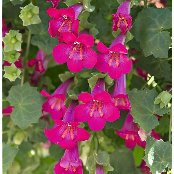 Gloxinia Grimpant Lofos Pink - Graines-Baumaux