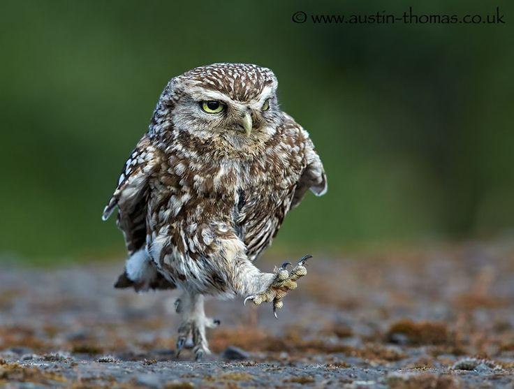 "A Little Owl ""Power Walking""... by Austin Thomas on 500px"
