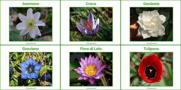 Schede con nomi e foto di 60 fiori da stampare o scaricare gratis
