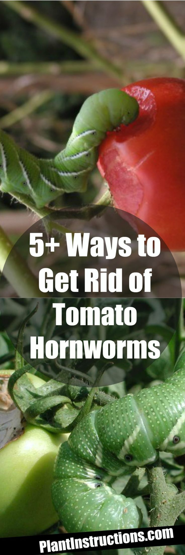 5 ways to get rid of tomato hornworms growing tomatoes