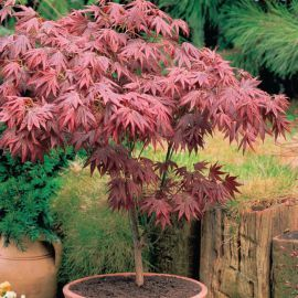 Erable Japonais Acer palmatum 'Atropurpureum'