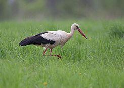 čáp bílý - mokřadní pták, typický svým dlouhým krkem a dlouhýma nohama