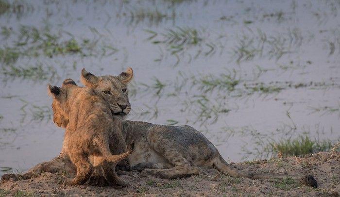 Lion cub romping with big bro #ManaPools #Zimbabwe #safari