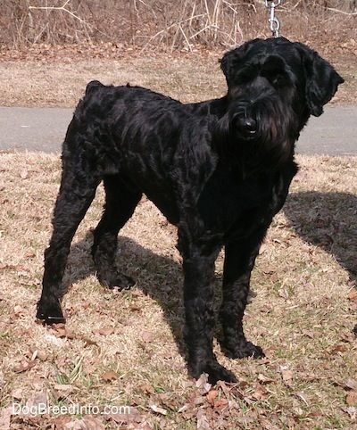 Giant Schnauzer Information and Pictures, Giant Schnauzers