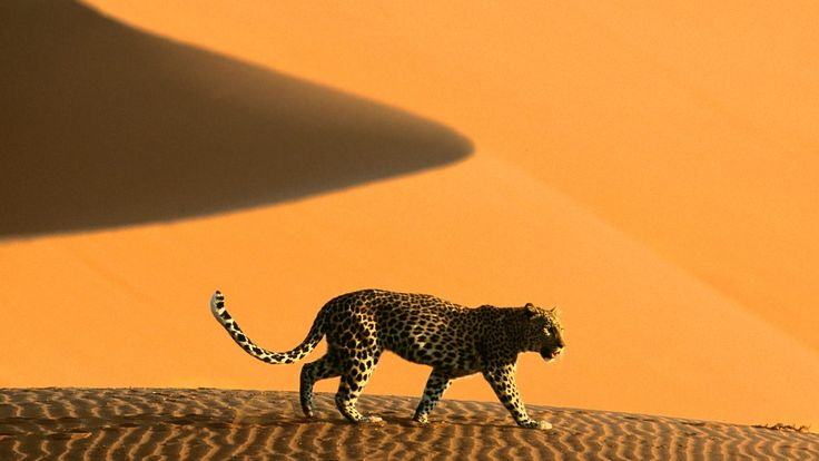Leopard exploring the Namibian dunes