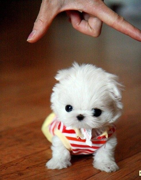 cute puppies puppy omg dog so little too small tiny teacup cutest dogs real smallest world maltese adorable ever baby