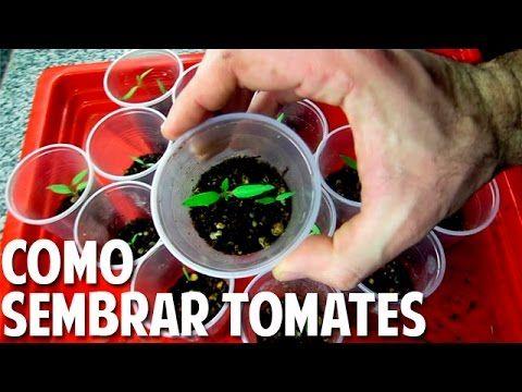 Sembrar Tomate desde Semilla - Germinación en 7 días - Video Completo - YouTube