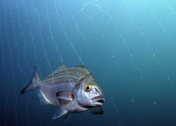 trumpeter fish - Google Search