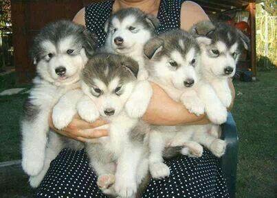 I want them all! Huskies!