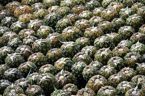 Collin Street Bakery Farm (Corsicana) is the largest organic golden pineapple farm in Costa Rica and is Fair Trade Certified. These pineapples have had their tops stripped and are waiting a ride to the canning facility.