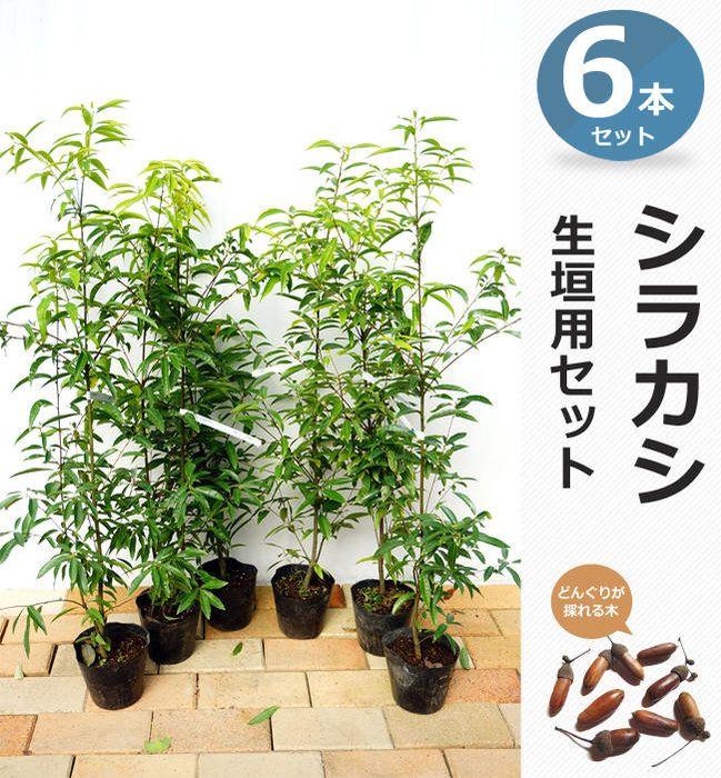 シラカシ生垣向け苗6本セット 生垣 シラカシ 庭 木