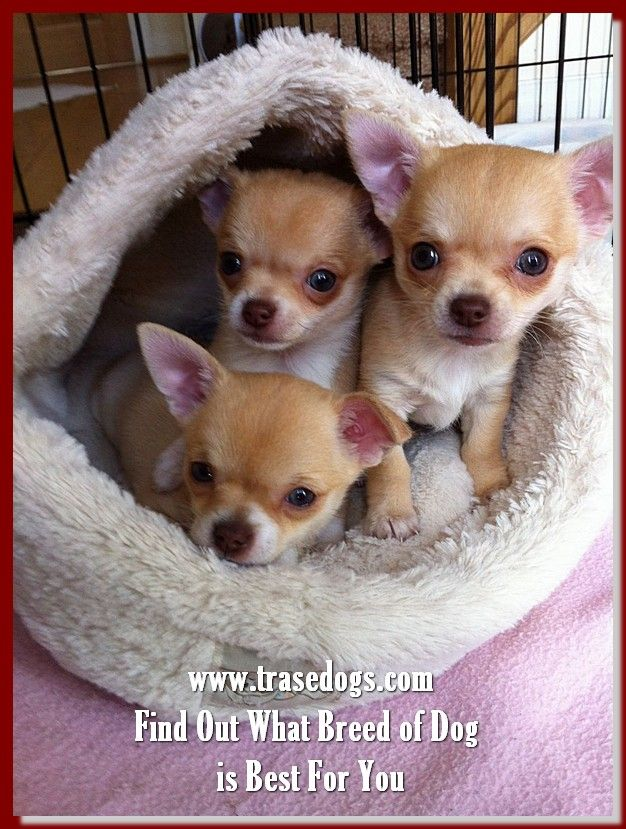 Keep Your Pooch Happy With These Tips Baby Chihuahua Cute