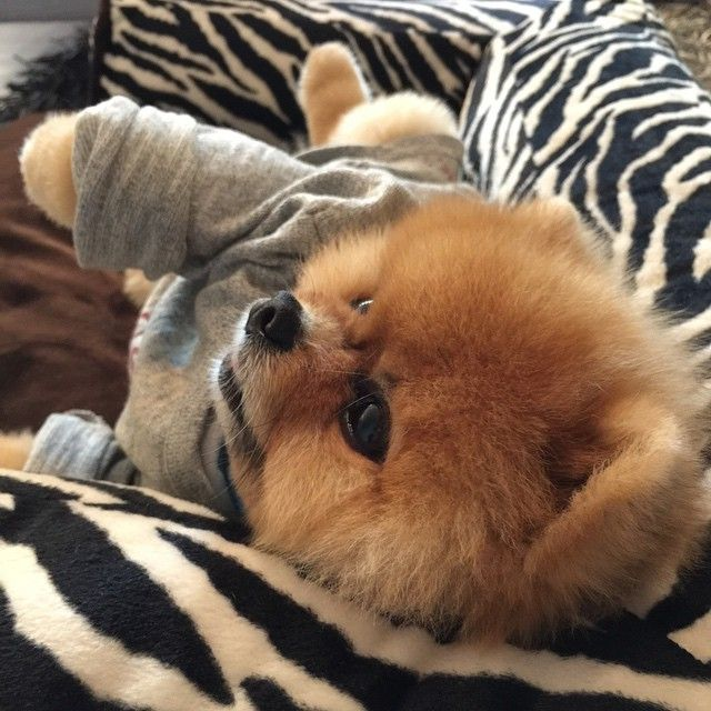 Adorable Little Jiff the Pomeranian Dog