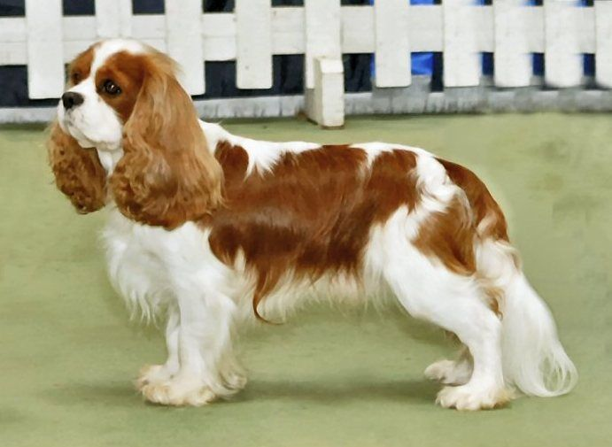 Cavalier King Charles Spaniel - Wikipedia, the free encyclopedia