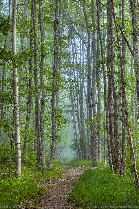 This lovely hiking path is near the Wild Gardens of Acadia and the Nature Center in Acadia National Park, Maine.
