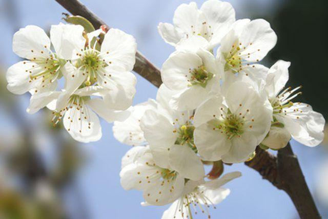 How To Prune Dwarf Cherry Trees Ehow Dwarf Cherry Tree Cherry Tree Tree Pruning