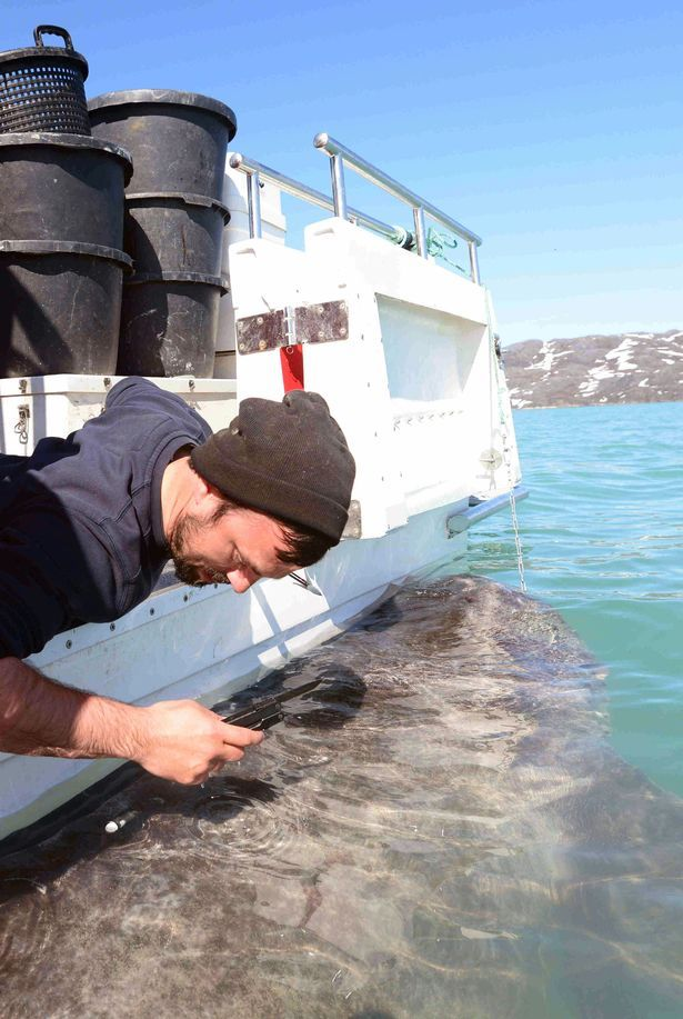 University of Exeter of sampling being carried out on a Greenland shark (Photo: PA)