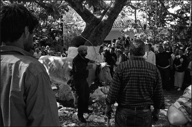 """Ο λαογράφος Γιώργος Αικατερινίδης περιγράφει το πανηγύρι του «Ταύρου» το 1969 στην Αγία Παρασκευή Λέσβου:«Το πρωί της Παρασκευής οδηγούν τον ταύρο μπροστά στο σπίτι του """"πρωτοζευγά"""" ή του δωρητή, και κάτω από τους ήχους μουσικής αρχίζουν να τον στολίζουν. [...] Στη συνέχεια, πάντοτε με μουσική, με λάβαρα, σημαία και με επικεφαλής τον πρωτοζευγά, που κρατά την εικόνα του """"Γέρου"""", όπως ονομάζουν τον Άγιο Χαράλαμπο, αρχίζει η περιφορά σ' όλο το χωριό του στολισμένου ταύρου [...]»."""