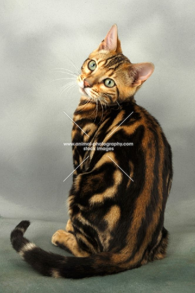 Brown Marble Bengal Cats | young brown marble bengal cat ...