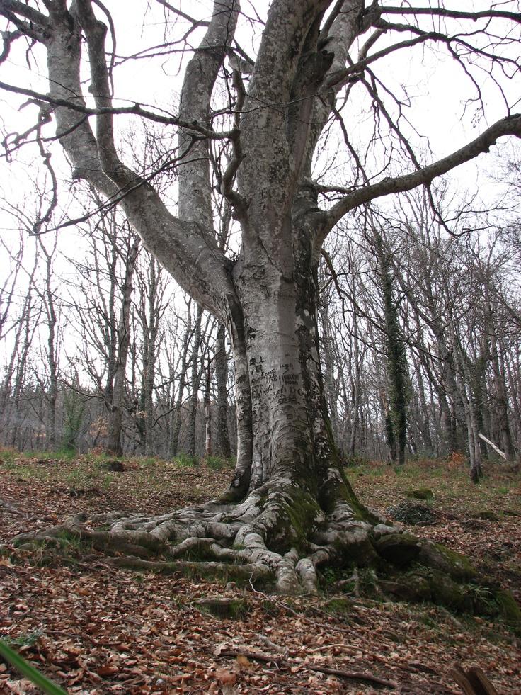 El Haya de la Herguijuela pasa por ser el más meriodional de Europa, es decir, el que habita más al Sur. Es, por otra parte, un árbol de gran belleza situado en un lugar fantástico.